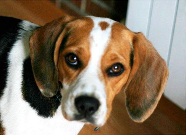 Nara-Beagle2
